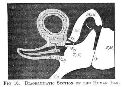 Figure 16 - Diagrammatic Section of the Human Ear