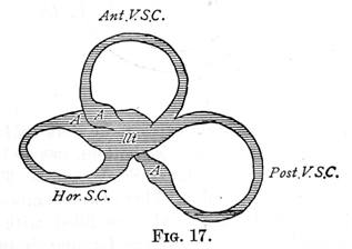 Figure 17 - Sacculus, and the three Semi-circular Canals